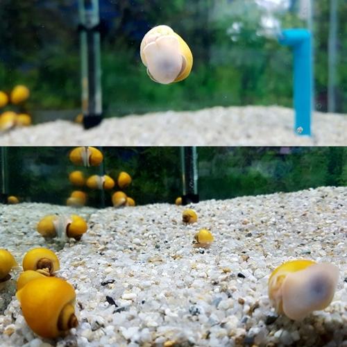 수족관 어항 청소물고기 이끼물고기 애플스네일, 1마리