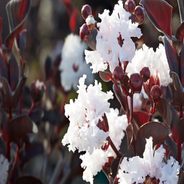 목하원예조경 자엽백일홍(블랙다이아몬드)흰색꽃삽목2년