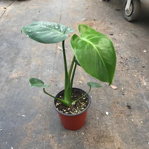 그린플랜트 공기정화식물 몬스테라 1+1