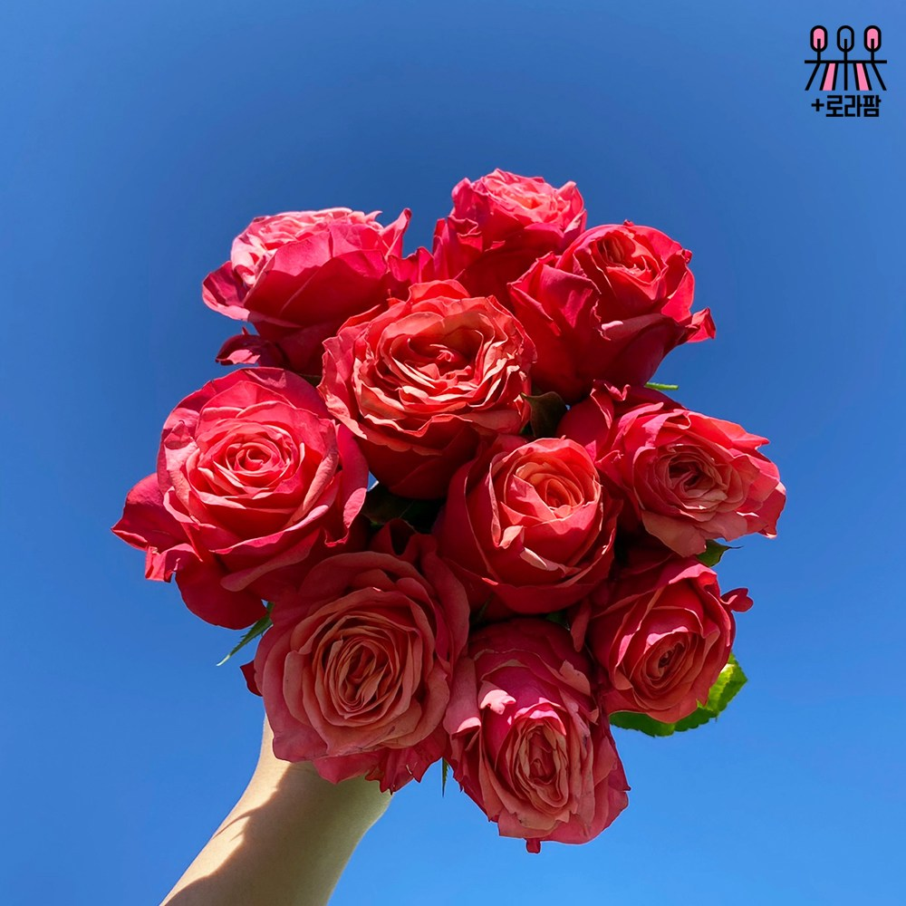 (로라네팜) 1+1 랜덤 장미 ROSE 꽃다발 꽃배달 여자친구선물 생화 농장직송 10송이, 헤라