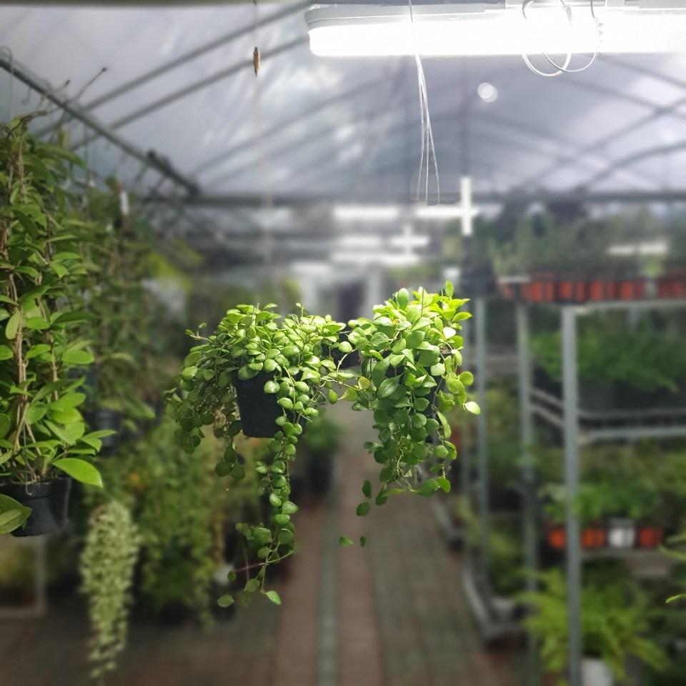 공룡꽃식물원(주) 원플원 2개 헤쉬겔리아나호야 옐로우 50~80cm 269 공중식물 에어플랜트