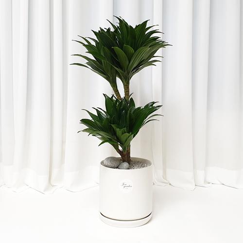 햇살농장 콤펙타 공기정화식물, 콤펙타+화이트화분, 1개