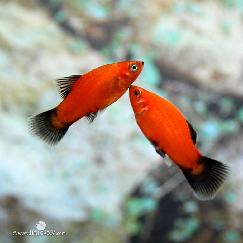 열대어) 왁 플래티 5마리 (키우기쉬운물고기 초보자용관상어)