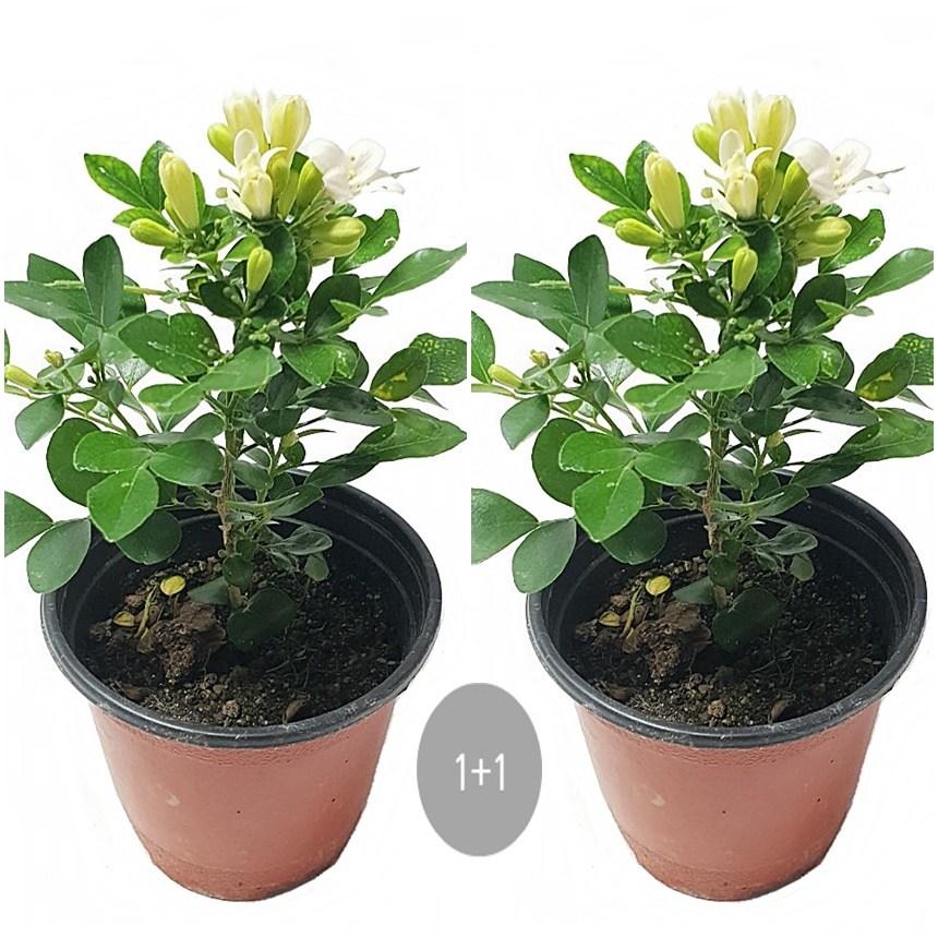트리앤 율마 개운죽 행운목 공기정화식물 미세먼지제거식물, 12.1+1 오렌지 자스민 1개