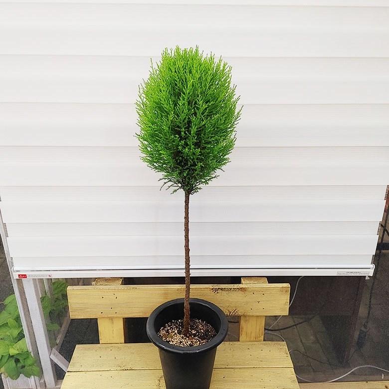 [하늘꽃농원] 공기정화식물 핫도그 율마 외가지 100cm