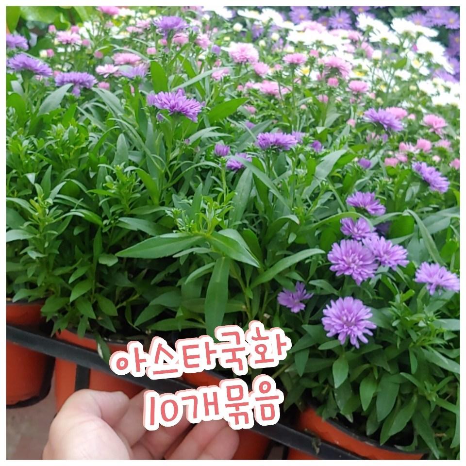 꽃나라엘리스 아스타국화-10개묶음-신비로운 꽃 아스타국화