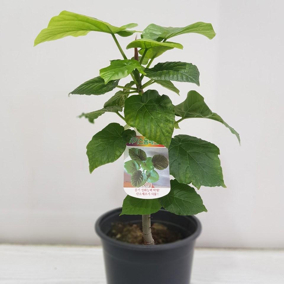 온누리농원 휘카스 움베르타 중소형 산소생성 실내 반려식물
