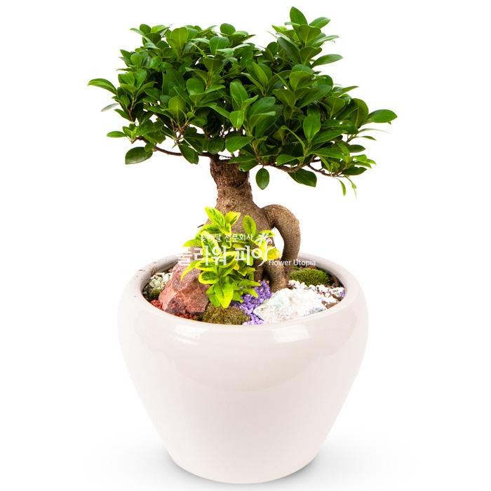 플라워피아 개업화분 축하화분 승진 집들이선물 공기정화식물 관엽식물, 9.인삼벤자민(일반형)