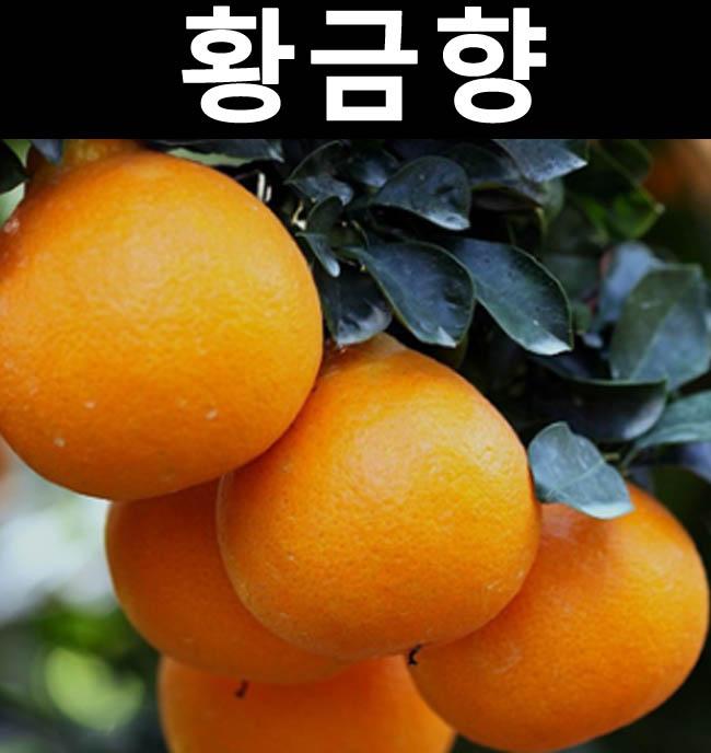 귤나무(황금향) 결실주 7치화분/나무 묘목/과실수/유실수