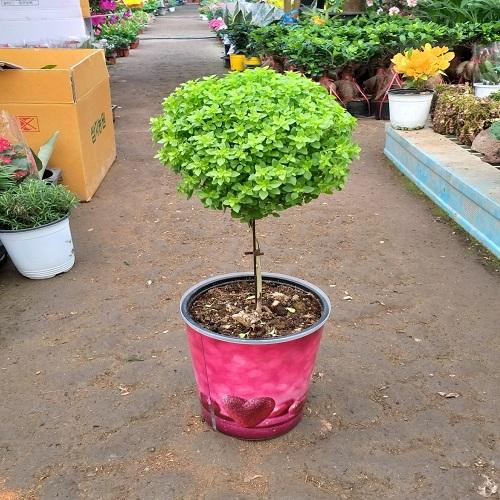 행복한꽃순이 바질트리(대)