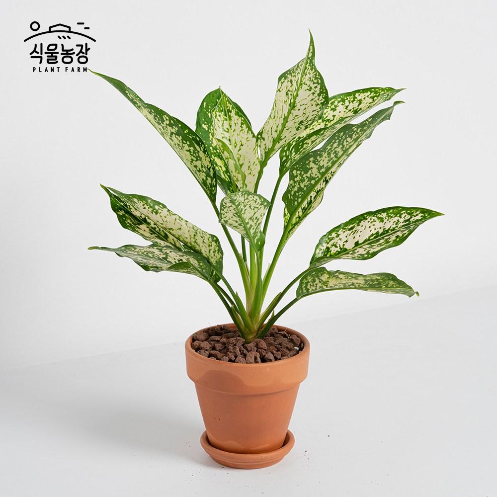 식물농장 아글라오네마 스노우사파이어 미니화분 레옹 화분, 1개, 이태리토분+꼬또(적갈색)
