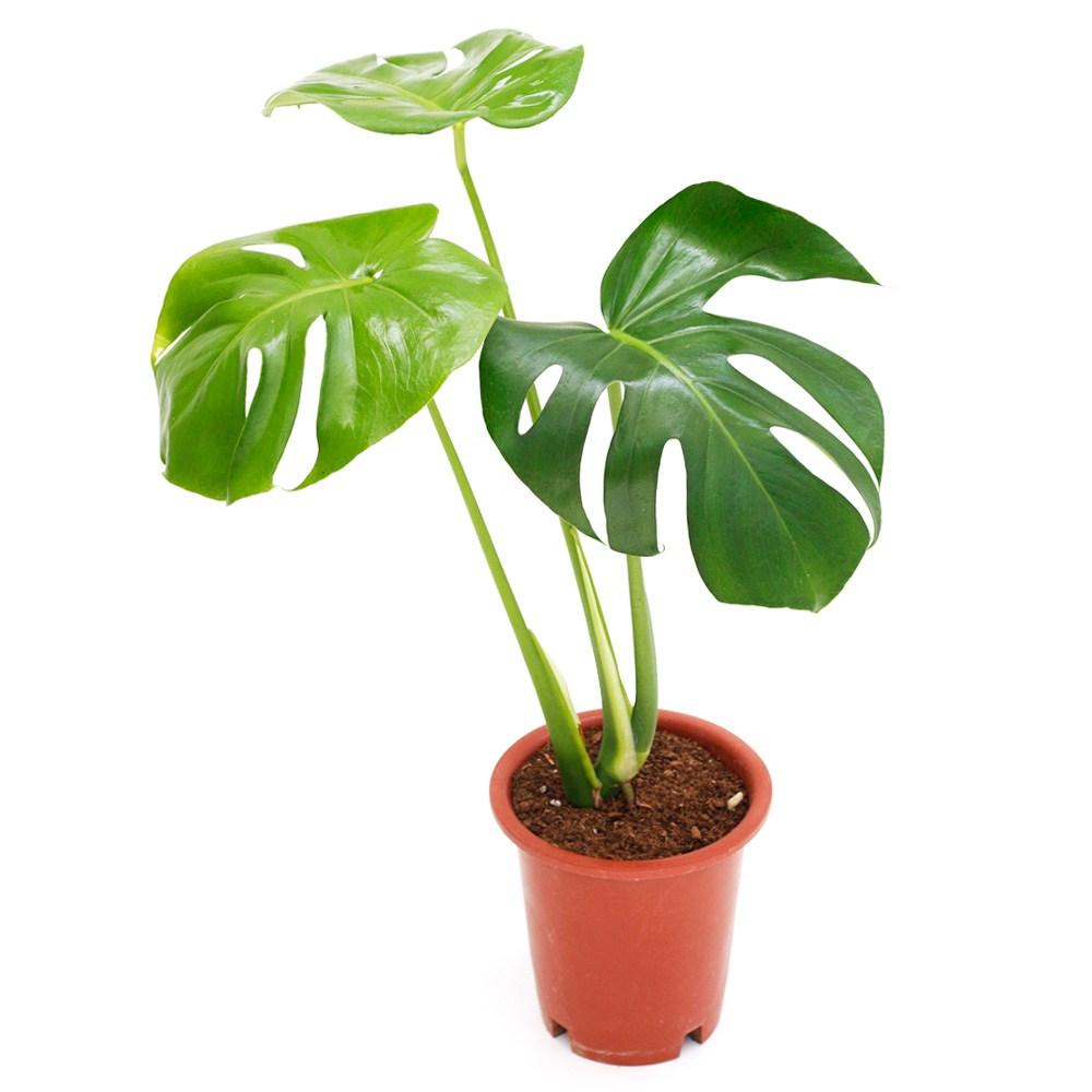 아침향기 공기정화식물 중형 대형 화분, (중형) 몬스테라, 1개