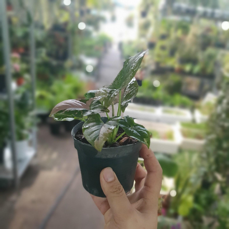 식물공장 레드스팟싱고니움 싱고늄 소품 99 15~30cm 허브 야생화 실내공기정화식물 행잉플랜트