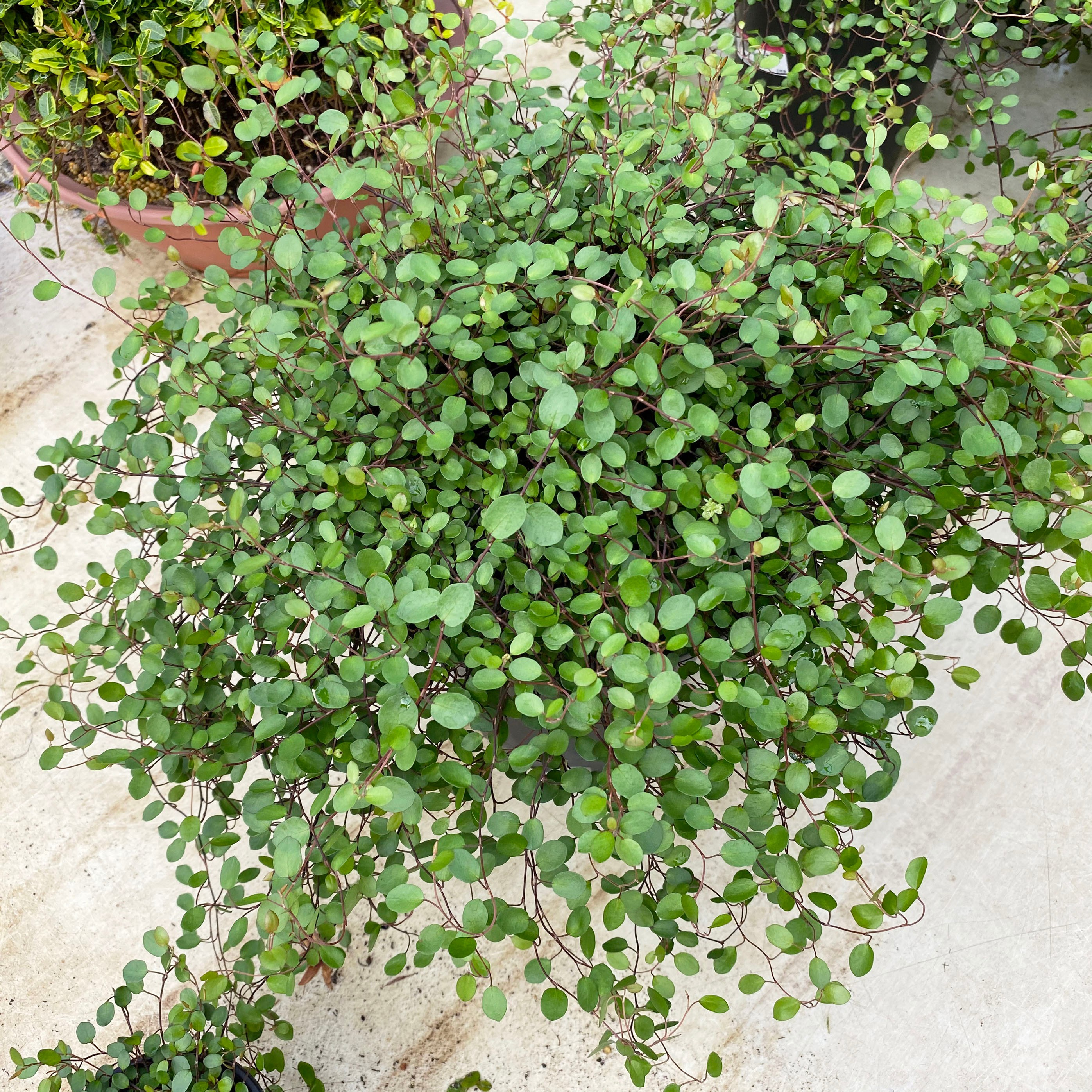 미니농장 트리안 대품 덩굴식물 공기정화식물