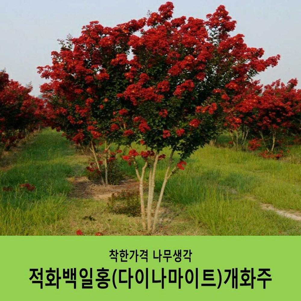 착한가격 나무생각 적화백일홍(다이나마이트) 개화주