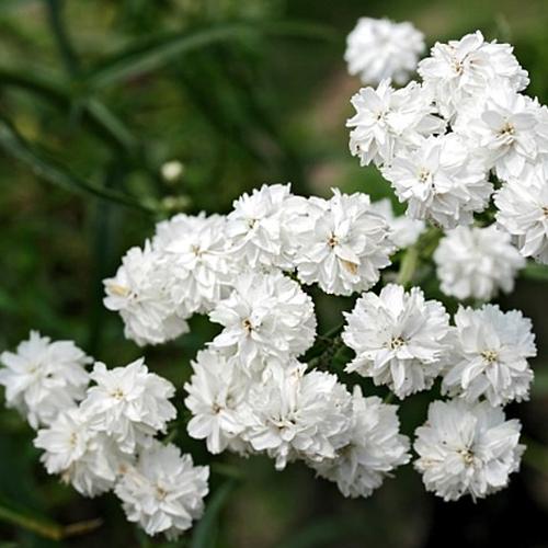 복남이네야생화 톱풀-흰겹톱풀 [4포트] (10cm포트 모종)