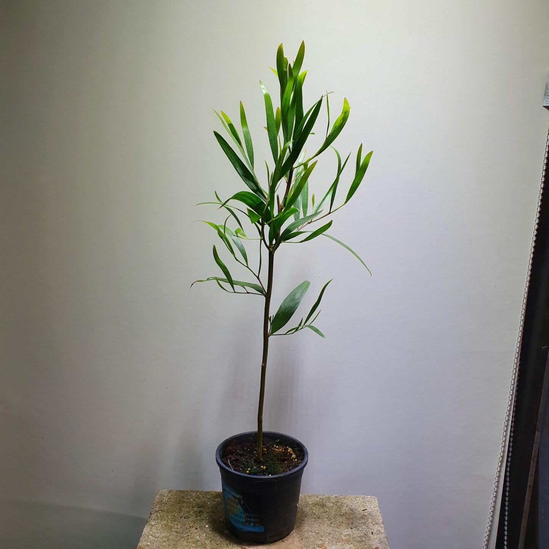 [나인에잇틴]긴잎 아카시아 외목대 중품 149