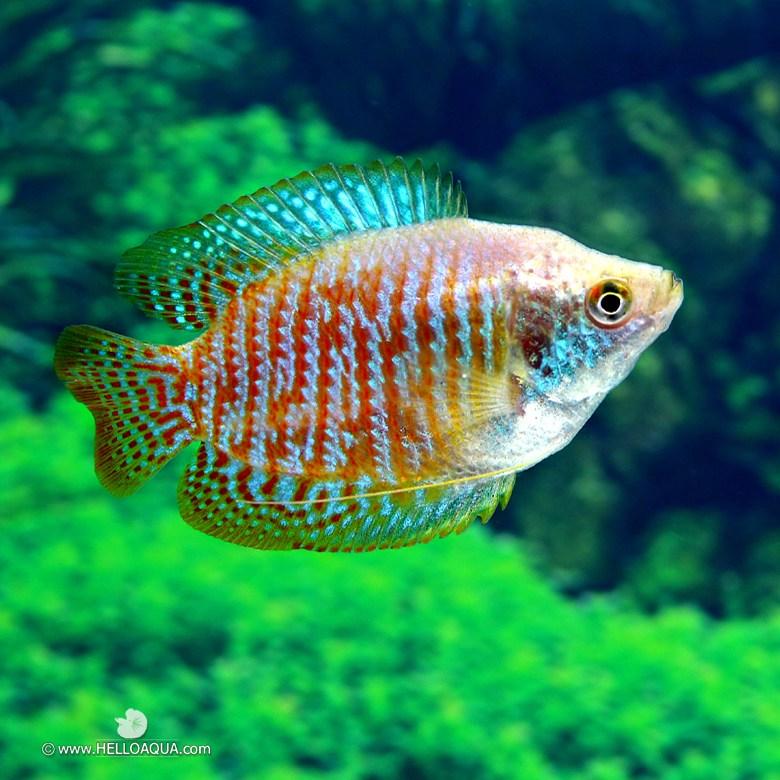 열대어) 드워프 구라미 2마리 (키우기쉬운물고기 초보자용관상어)