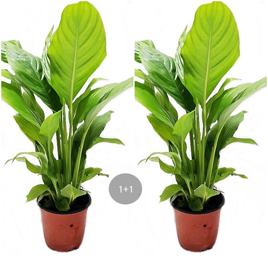트리앤 1+1 스파트 필럼 공기정화식물, 01. 1+1 스파트 필름76 1개