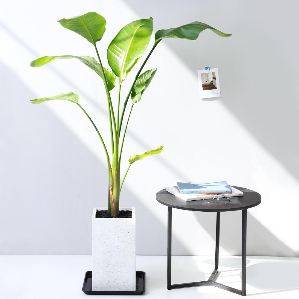 아침향기 공기정화식물 대형화분 FRP 화기 화분 - 여인초 (극락조), FRP 그레이 여인초, 1개