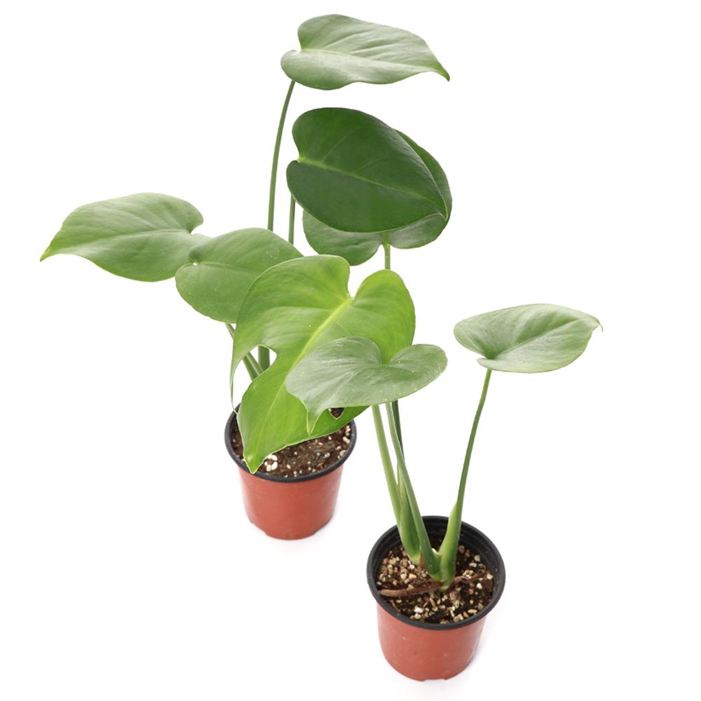 엉클컴퍼니 공기정화식물 미니 몬스테라