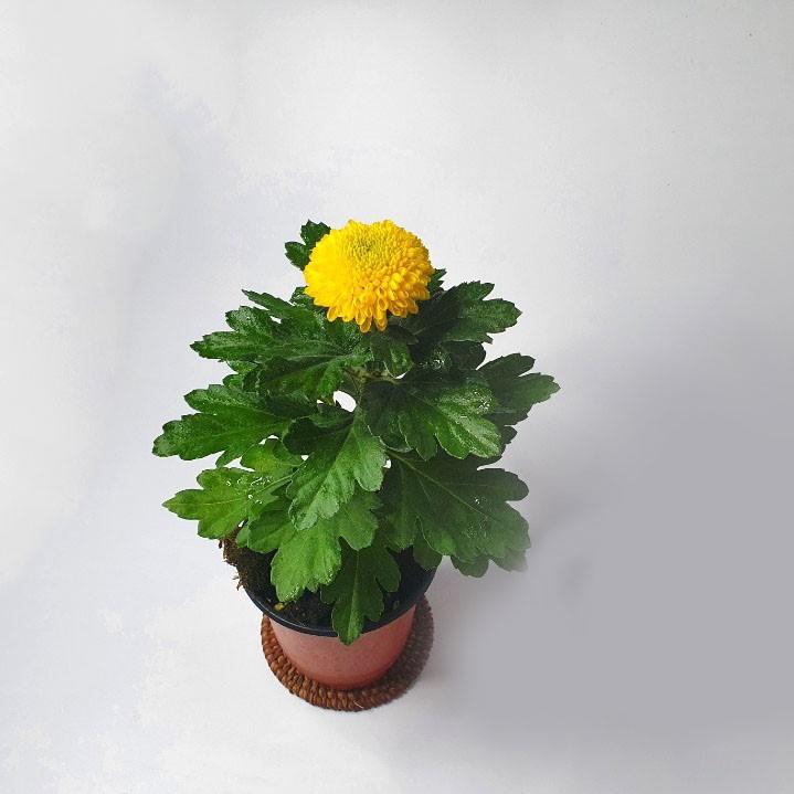 소예방 핑퐁국화 (소품) 귀여운식물 식물인테리어 실내공기정화식물 가을시즌