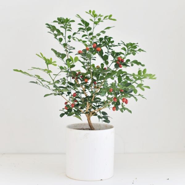 [핫트랙스] 디어먼트 오렌지 자스민 인테리어 공기정화 식물 화분