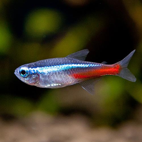 피알피쉬 [열대어 관상어] 카라신 네온테트라, 30마리