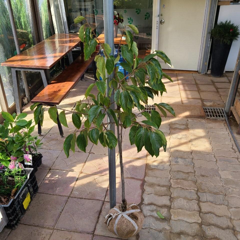 감나무 묘목(대봉시) 분묘 가림원예조경, 풀또기 개화주 분묘