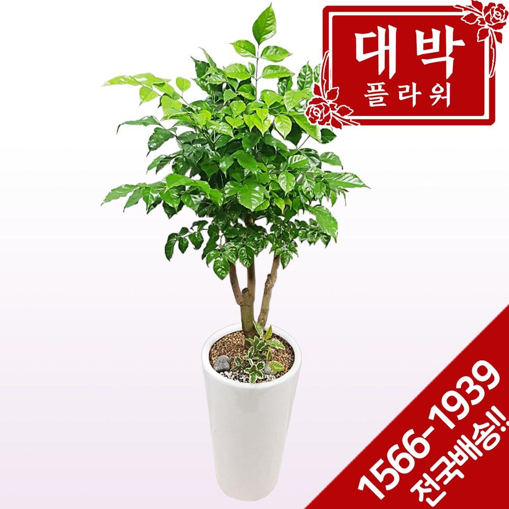 대박플라워 녹보수(대박나무) 개업화분 집들이 인테리어 공기정화식물 관엽식물 꽃배달