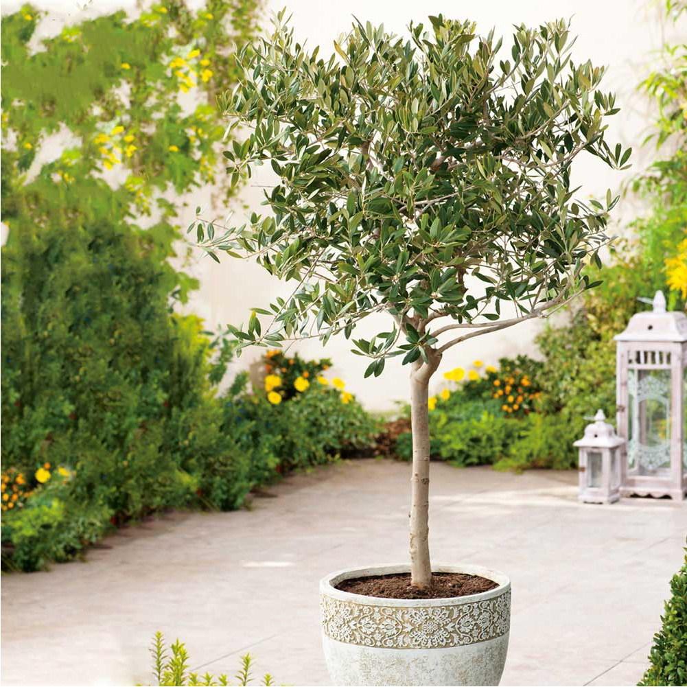 올리브나무 아르베키나(자가수정) 포트묘 가림원예조경