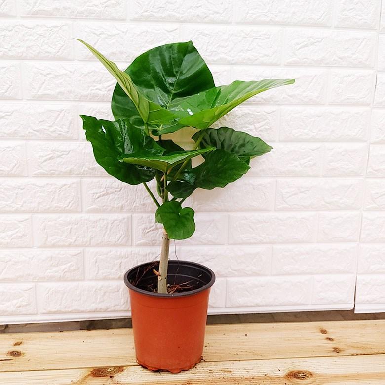 [하늘꽃농원] 휘카스 움베르타 뛰어난 공기정화 식물