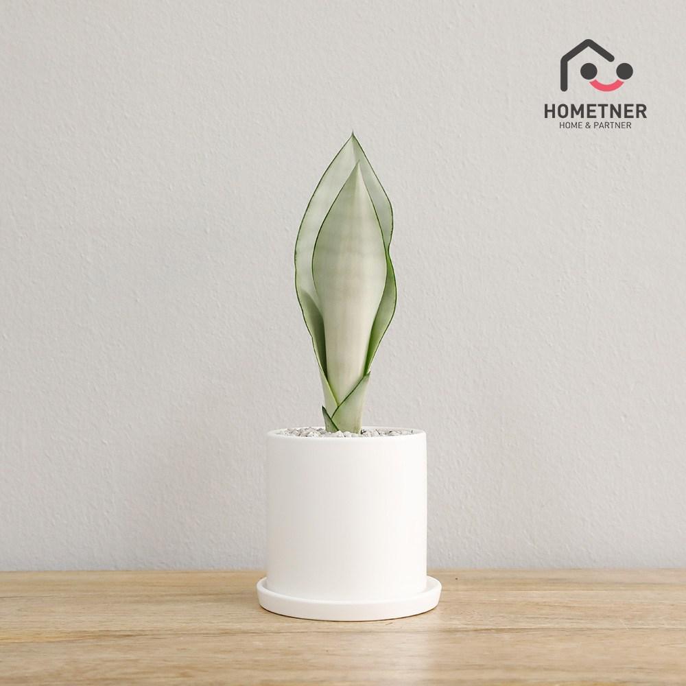 홈트너 실내공기정화식물 관엽 인테리어식물, 1Ea, 3_17 문샤인 소
