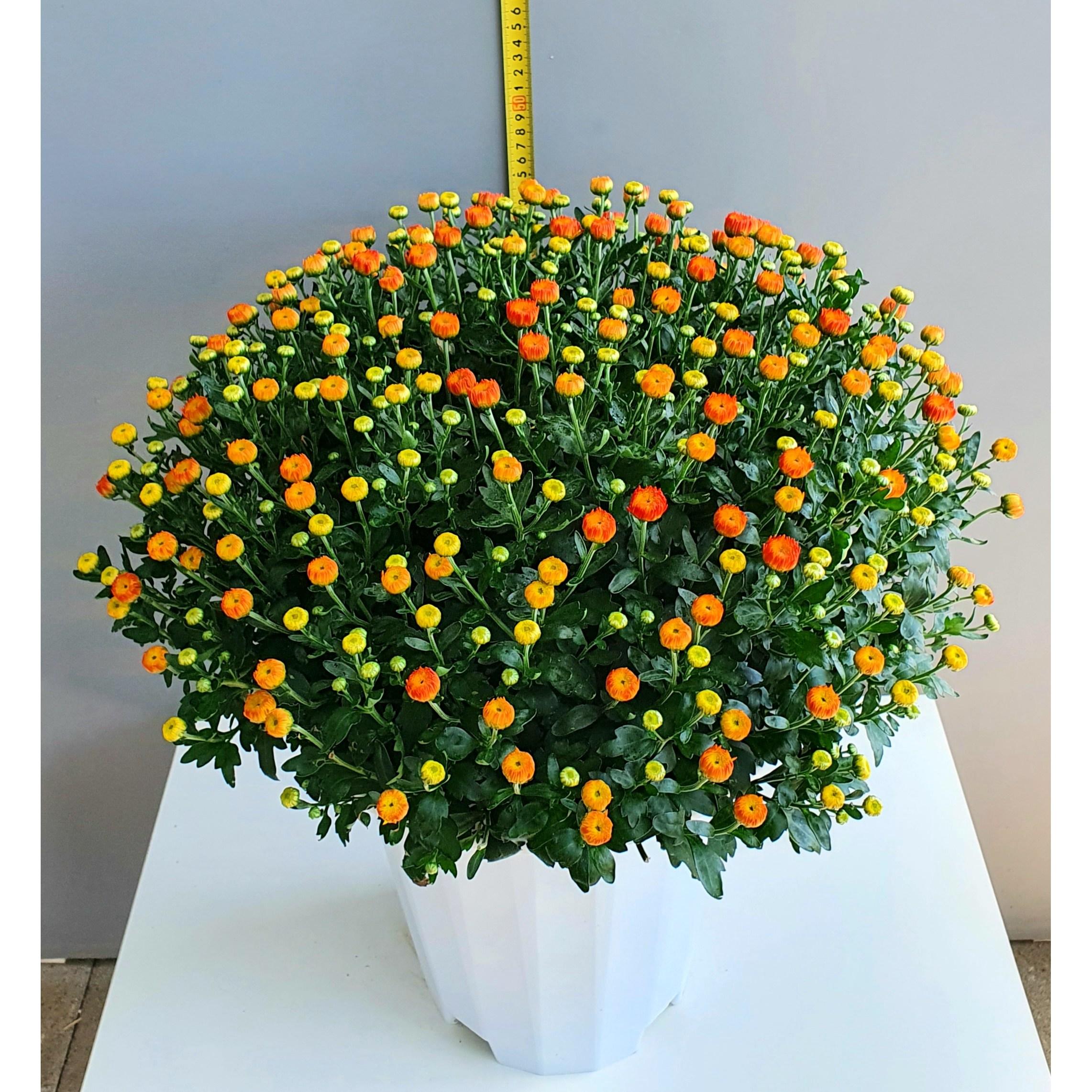 웰림원예 가을꽃국화 오렌지빛노랑 높이 50cm전후