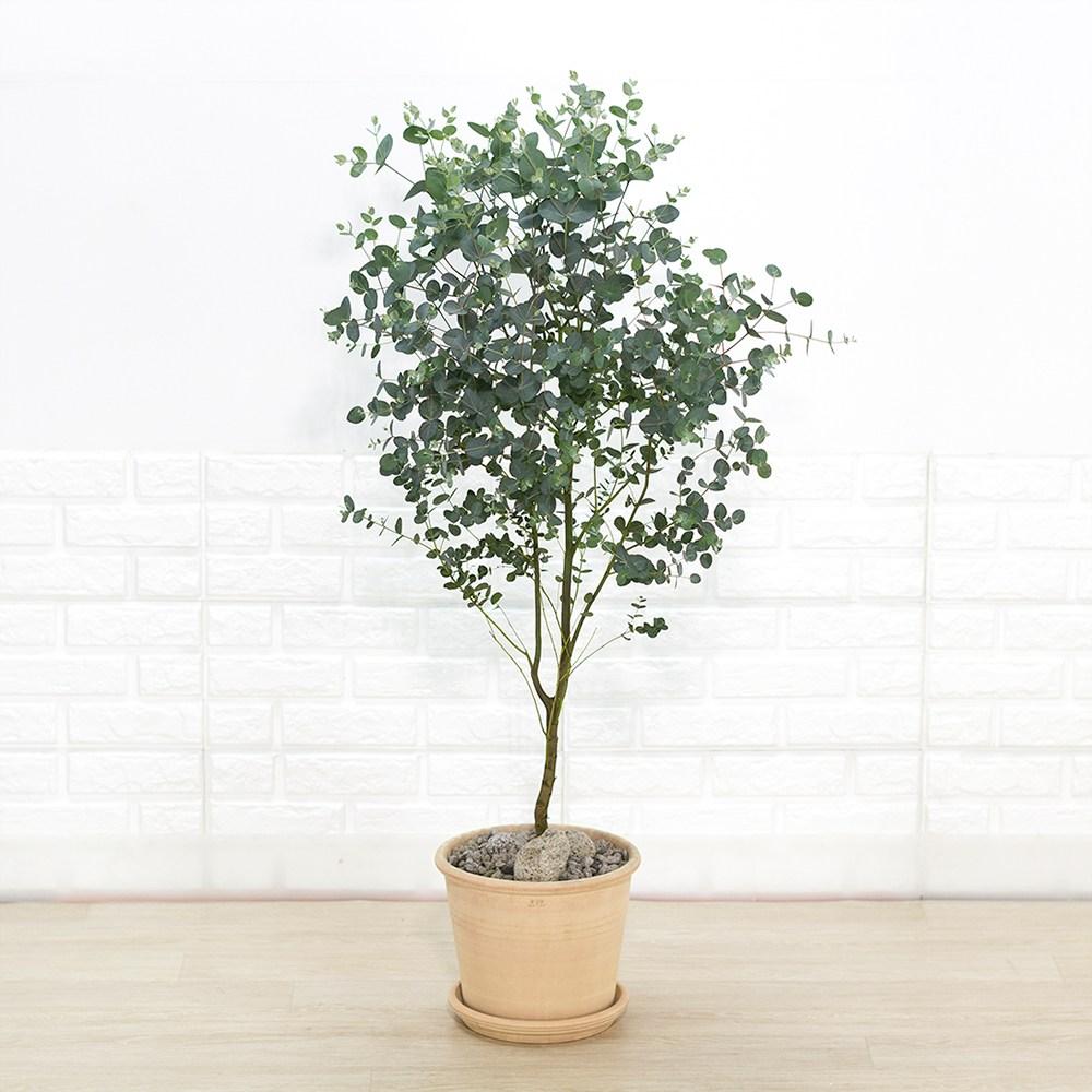 [화수분] 유칼립투스 3종 예쁜 카페형식물, 1개, 3.중대형 유칼립투스 플라스틱화분