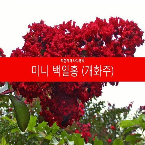 착한가격 나무생각 미니백일홍(개화주) 1주