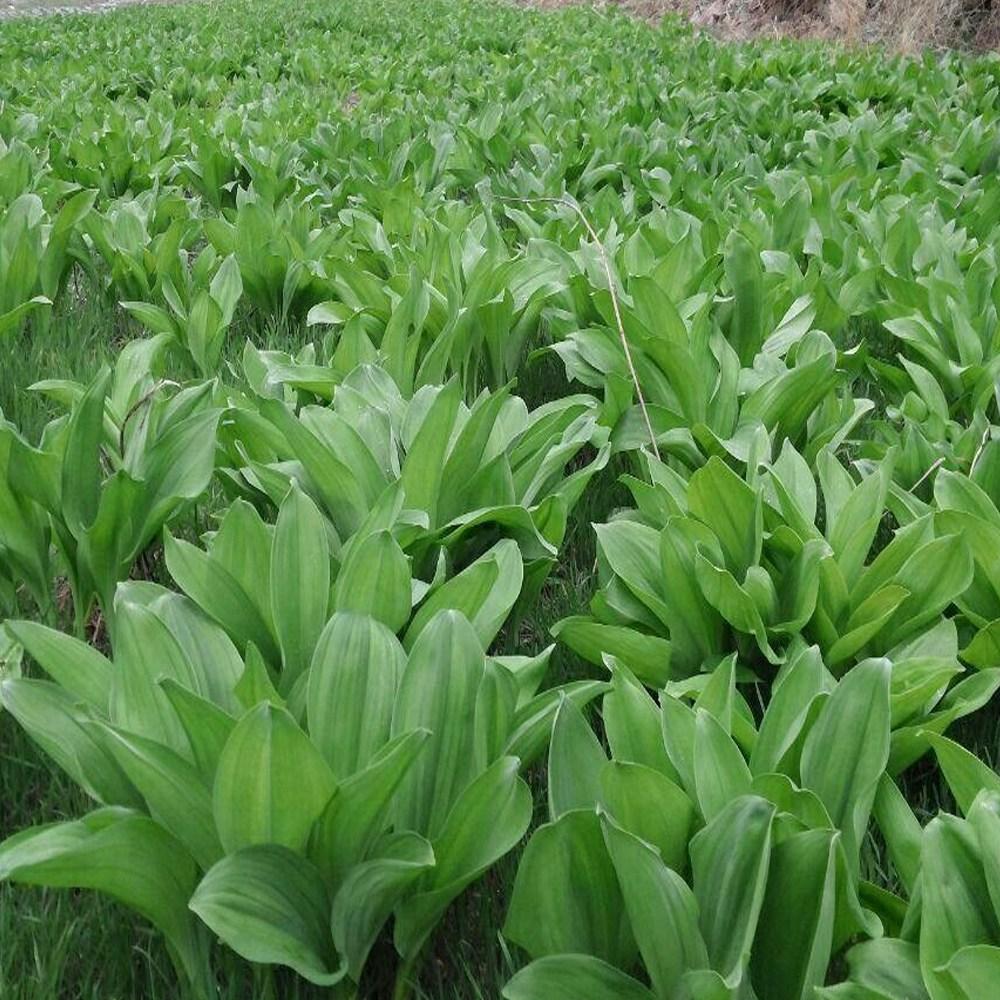 [4월 10일부터 발송] 강원도 평창 청정지역 채미농원 명이나물 1kg, 1개, 줄기포함 1kg