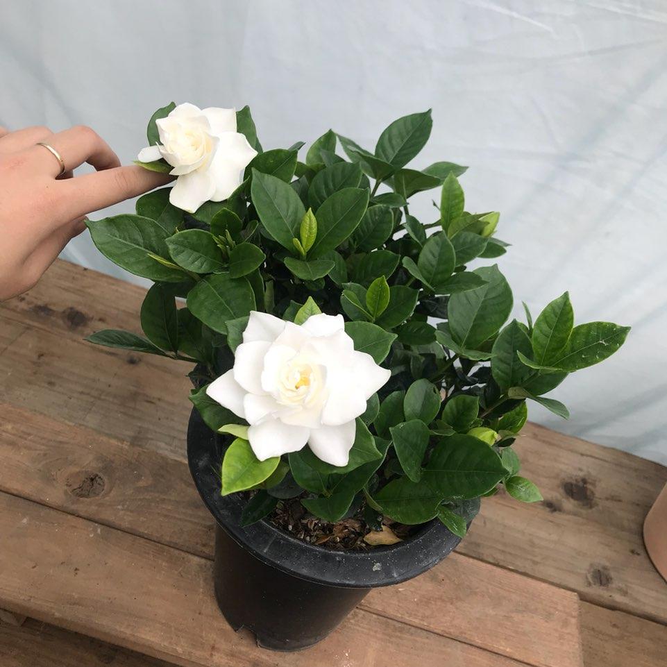 청년농부 꽃치자 치자나무 향좋은꽃 강추!