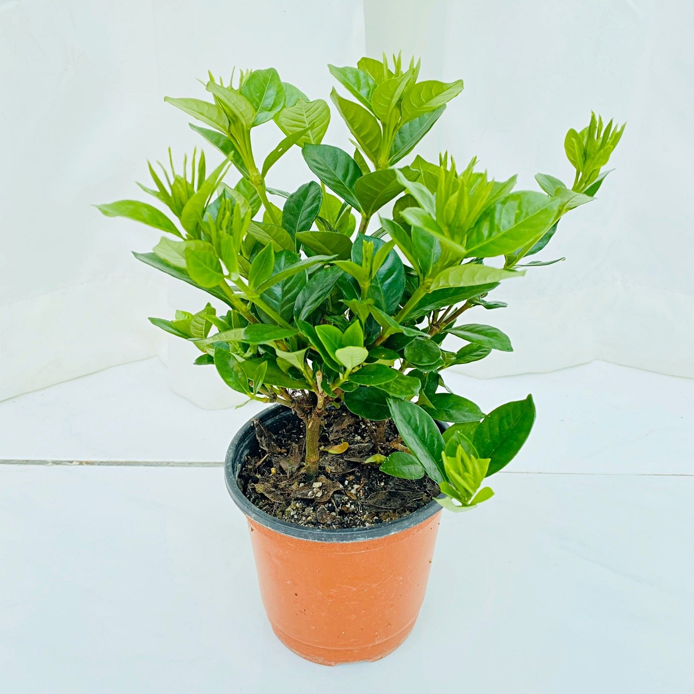 청년농부 풍성한 애기소형 꽃치자나무 이쁜꽃 흰색꽃 향기좋은꽃 귀여운꽃식물