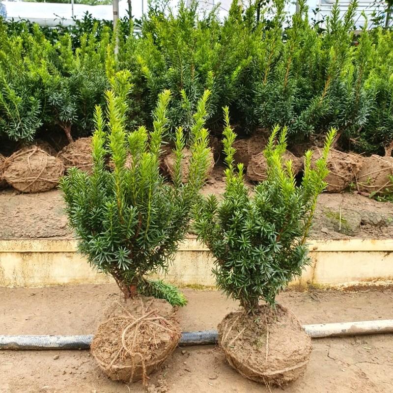 [상록수] 둥근주목 묘목(분) 30-40cm