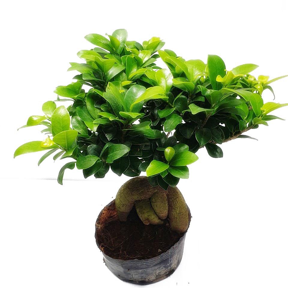 트리앤 인삼벤다 인삼벤자민 공기정화식물, 02. 인삼 펜다(대159(대) 1개