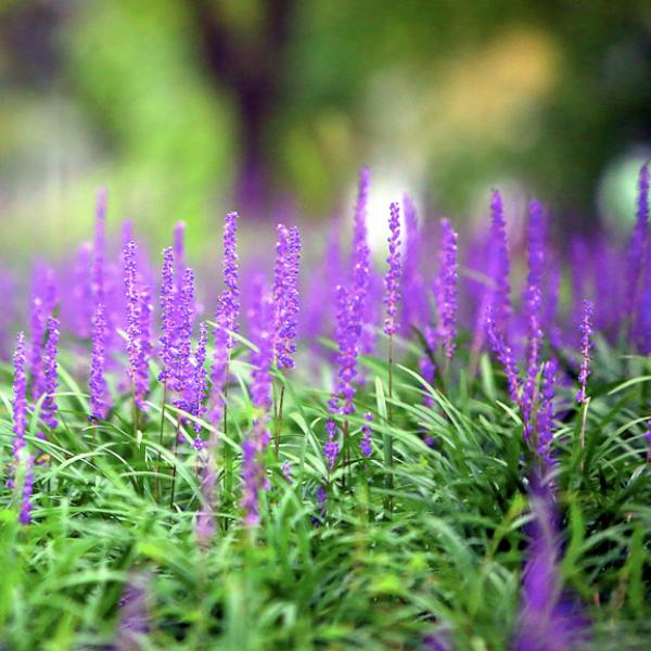 복남이네야생화 그라스-맥문동 [7포트] (8cm포트 그린 퍼플 지피식물 토종 봄 모종)