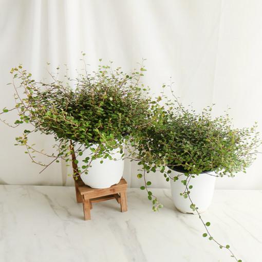 갑조네 행잉플랜트 행잉식물 반려식물 트리안 인테리어식물, 트리안(미니)(중)(1+1)단품