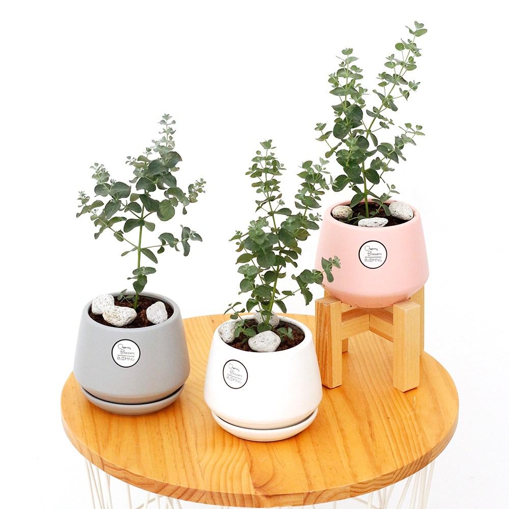 삼색세라믹 인테리어 화분 공기정화식물 집들이선물, 유칼립투스, 삼색세라믹 핑크