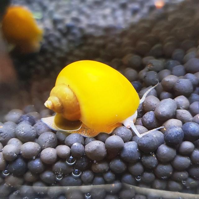 벅스앤미 애플스네일 ( 청소달팽이), 4마리