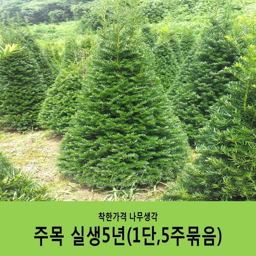 착한가격 나무생각 주목 실생5년뿌리묘(1단 5주묶음)