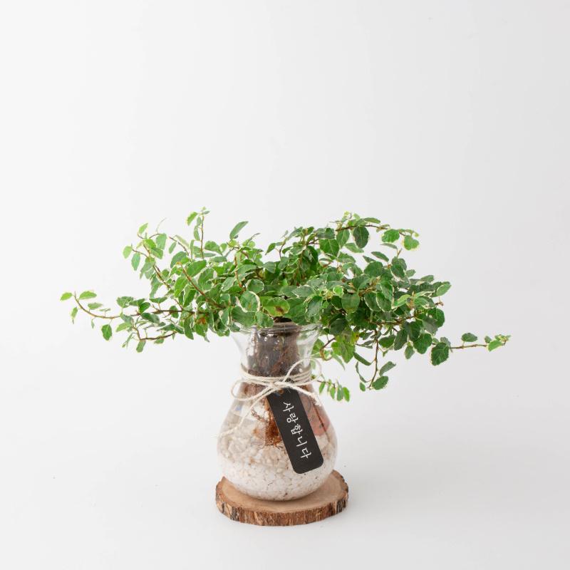 나루플랜트 수경재배식물 건강한 21종 식물 모음, 12.푸미라