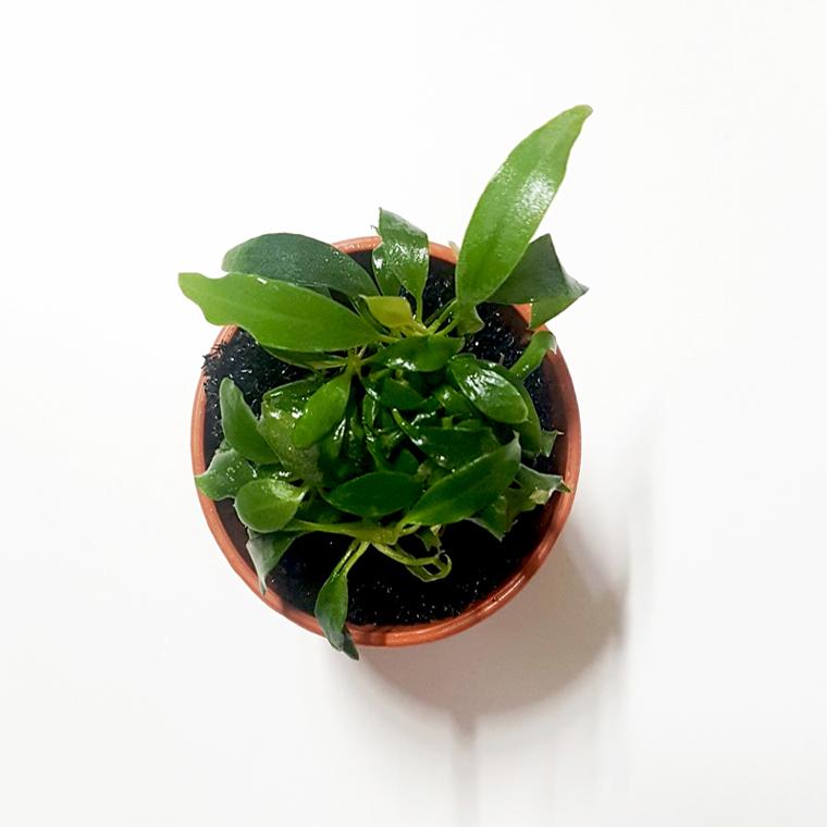 [오쿠아] 수초 아누비아스 미니마 1포트(음성수초키우기 새우수초 구피수초)