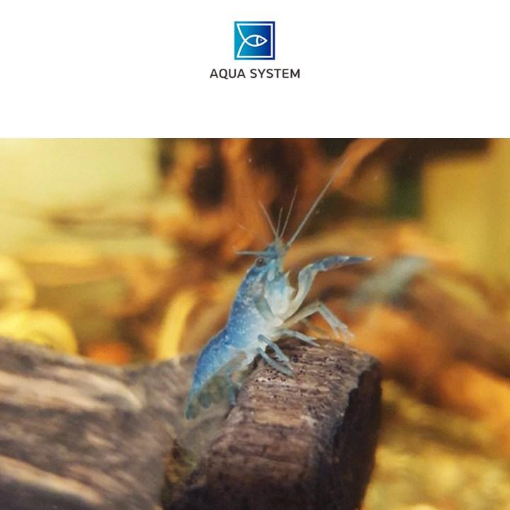 아쿠아시스템 애완가재 블루 크로우 치가재 1마리