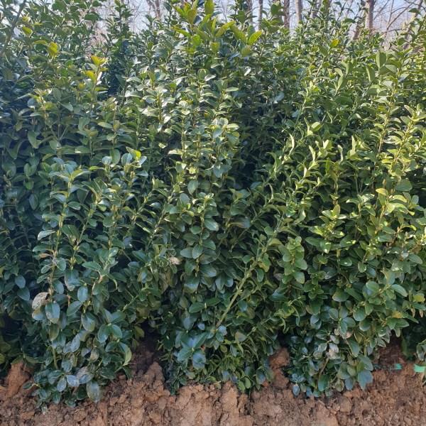 키움원예 사철나무 10주묶음 H1.0~1.2